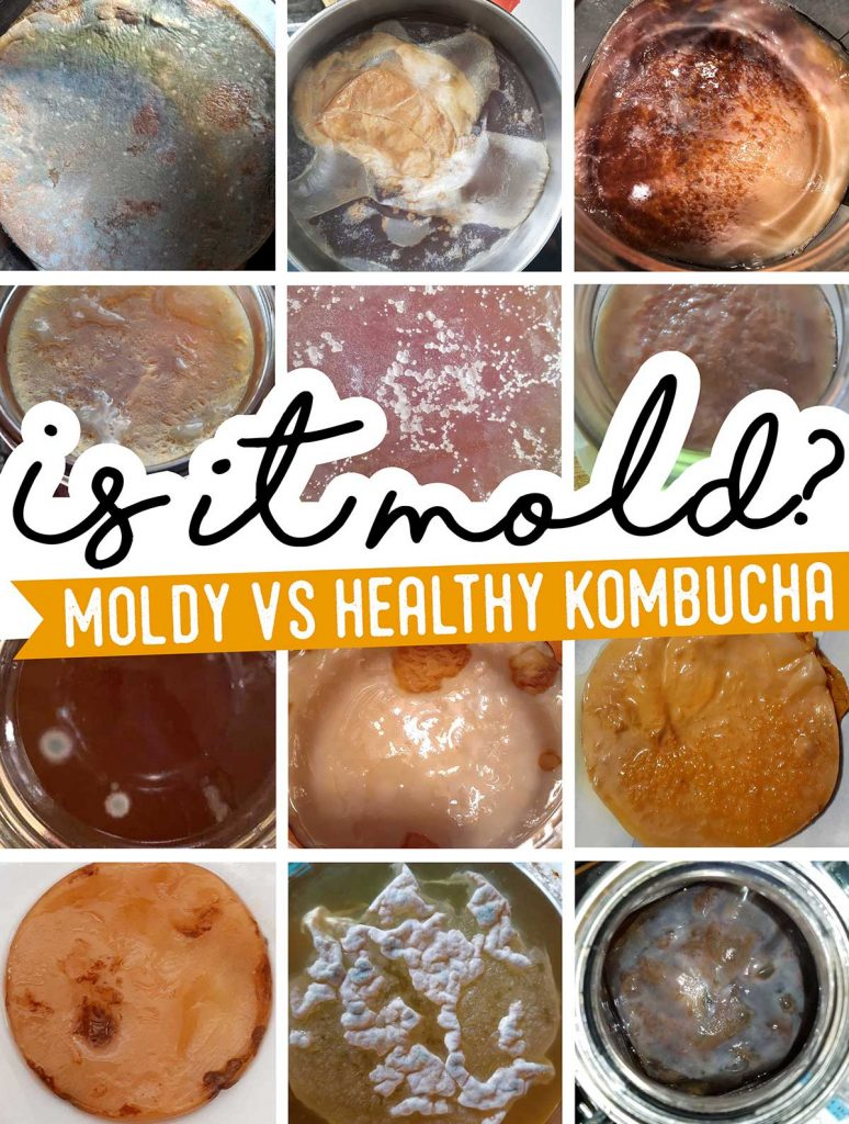 Picture of kombucha SCOBYs with and without mold